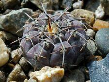 gymnocalycium esperanzae 10+ seeds rare cactus succulent