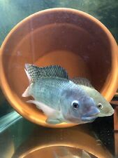 Live Blue Tilapia Frys 25 count Free Shipping