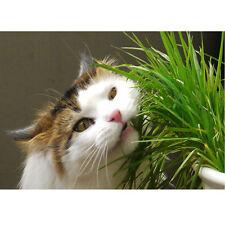 Hierba para Gatos ** Lolium perenne ** 1.500 semillas ** Hierba Gato