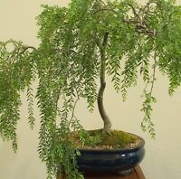 Silver Weeping tea tree! RARE! Hardy!!! Ideal indoor/outdoor bonsai! Fresh seeds