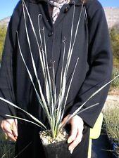 DASYLIRION WHEELERI Desert Spoon Common Sotol rare plant pianta rara vq/sp