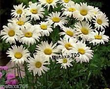 Graines  Marguerite    Leucanthemum maximum