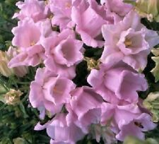 50+ Campanula Canterbury Double Pink Bells Flower Seeds / Perennial