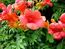 200 Campsis radicans seeds - Trumpet Vine - HUMMINGBIRD -BUY 2 GET 1 FREE
