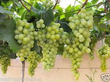 Live Sweet Grapes - Vine Fruit Plant - 1 Healthy Plant