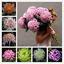 Chinese Mum Seed Rare Perennial Flower Seeds Chrysanthemum Plant Seed Mix corlor