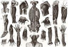 ART i muscoli POSTER 1850s stampa medica anatomia