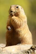 Curious Standing Prairie Dog Journal : 150 Page Lined Notebook/Diary by C. S.