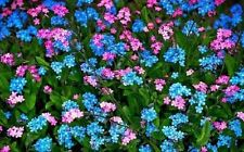 60+ Blue and Rose Forget-Me-Not Myosotis / Perennial Flower Seeds