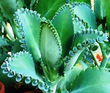 New listing 4 Bryophyllum Kalanchoe Daigremontiana Mexican Hat Starter Plantlets