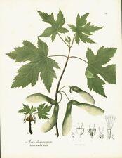 ANTIQUE BOTANICAL PRINT - SILVER MAPLE TREE - COLOR LITHOGRAPH ILLUSTRATION 1843