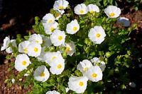 ** ZISTROSE Saatgut exotische Pflanzen Samen Garten Sämereien Balkon Terrasse