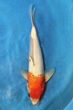 """12"""" Live Japanese Koi Fish"""