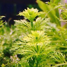 "10+ Limnophila Sessiliflora ""ambulia"" - Live Aquarium Plant - 1 Leaded Bunch"