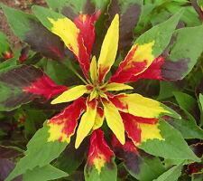 250+ semi Amaranthus TRICOLORE-VERDURA-AMARANT