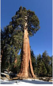 Sequoiadendron Giganteum Giant Sequoia Redwood tree - Seeds