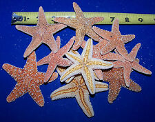 "12 - SUGAR STARFISH CRAFTS SEASHELLS DECOR 3"" WEDDING CRAFTS DISPLAY 12 PC LOT"