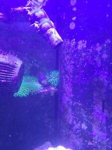 Live Ultra Green Star Polyp Coral Frag Saltwater Marine GSP Polyps Reef