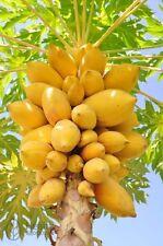 Carica Papaya''Asimina triloba''  10-Seeds*Outdoor Tree*UK Seller*