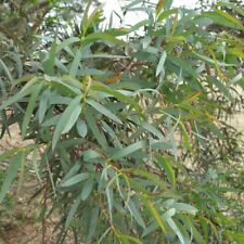 2 Eucalyptus parvula small leaf hardy gum evergreen Tree Floral Foliage Shrub