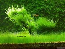 Vesicularia reticulata [Erect Moss] ADA Aquarium Plant Tissue Culture Java Moss