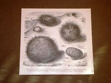 Gravure année 1873 Oursin commun o Ricci di mare
