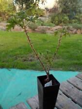 """mint rose geranium Pelargonium 'Graveolens' P. 'Mint Rose"""" 1x herb plant tube"""