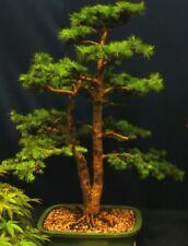 Bonsai Samen i! PINOW-TANNE !i Zimmerpflanze Sämereien Samen Terrasse Balkon