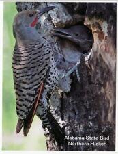 Postcard Alabama State Bird Northern Flicker or Yellow-Shafted Flicker