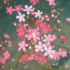 BABY'S BREATH MIX –  2000 SEEDS -  Gypsophila elegans - ANNUAL FLOWER