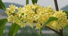 Osmanthus Fragrans - Sweet Tea Fragrant Olive - Rare Tropical Shrub Seeds (6)