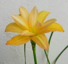 Double-Flowered Rain Lily Bulb, Zephyranthes 'Yanti Chandra', Fairy Flower Size
