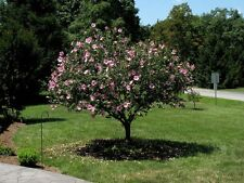 "LAVENDER ROSE OF SHARON PLANTS 25-36"" Flowering Bush Sm Ornamental Tree violet"