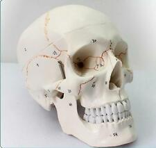 Life Size Human Anatomical Anatomy Head Skeleton Skull Teaching Model Precise M