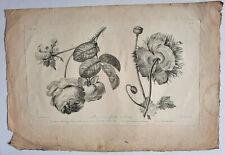 ROSE CENT FEUILLES PAVOT Gravure JEAN LOUIS PREVOST Dien BOTANIQUE Basset 1805