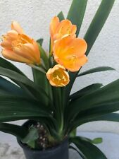 Rare Clivia -Sunrise Sunset x Victorian Peach near blooming size offset