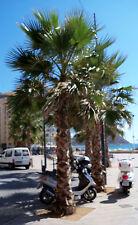 3 PALM TREE SEEDLINGs - California Washingtonia - Petticoat-Palm tree