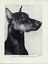 DOBERMAN PINSCHER HEAD STUDY GERMAN DOG OLD ORIGINAL DOG PRINT PAGE FROM 1934