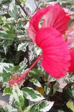 Hibiscus Snow Qween Red flowers variegated leaves of green white pink 3 gal