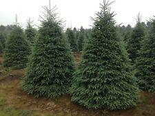 Black Hills Spruce (Picea glauca densata) 100 seeds