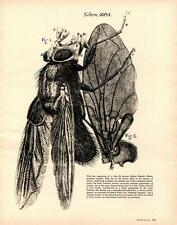 1961- Robert Hooke- Insect Engraving- Blue Fly- Vtg Art Print