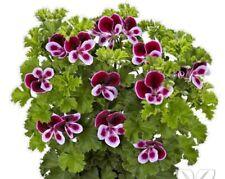 Scented Pelargonium Cutting Raised Plug Plant Grandeur Odorata Perfume