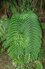 Fern spore - Cyathea rebeccae (Black Tree Fern)