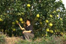 Pomelo Dwarf Tree Grapefruit Delicious Fruits Home Gardening Planting 5 Seeds