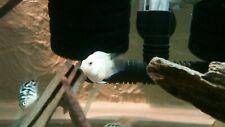 White Convict Parrot Cichlid