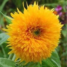 Sunflower Seeds 'Orange Sun' Rare Flower Seeds 8 feet tall