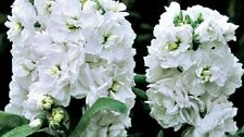 50+ White Evening Or Night Scented Stock Flower Seeds / Annual /Great Gift