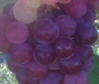 Ruby Red Seedless Grape Vine 1 gallon Live Plant Home Garden Easy to Grow Grapes