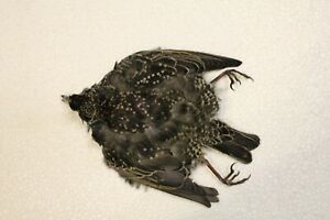 Starling (Full Skin)