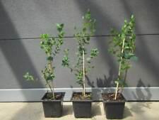 Eucalyptus parvifolia syn. parvula - Eukalyptus - Pflanze 30-50cm  bis -20°C